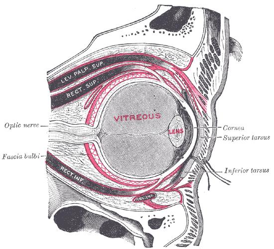capsula de Tenon wikipedia la estructura que permite al ojo aguantar impactos y compresiones.