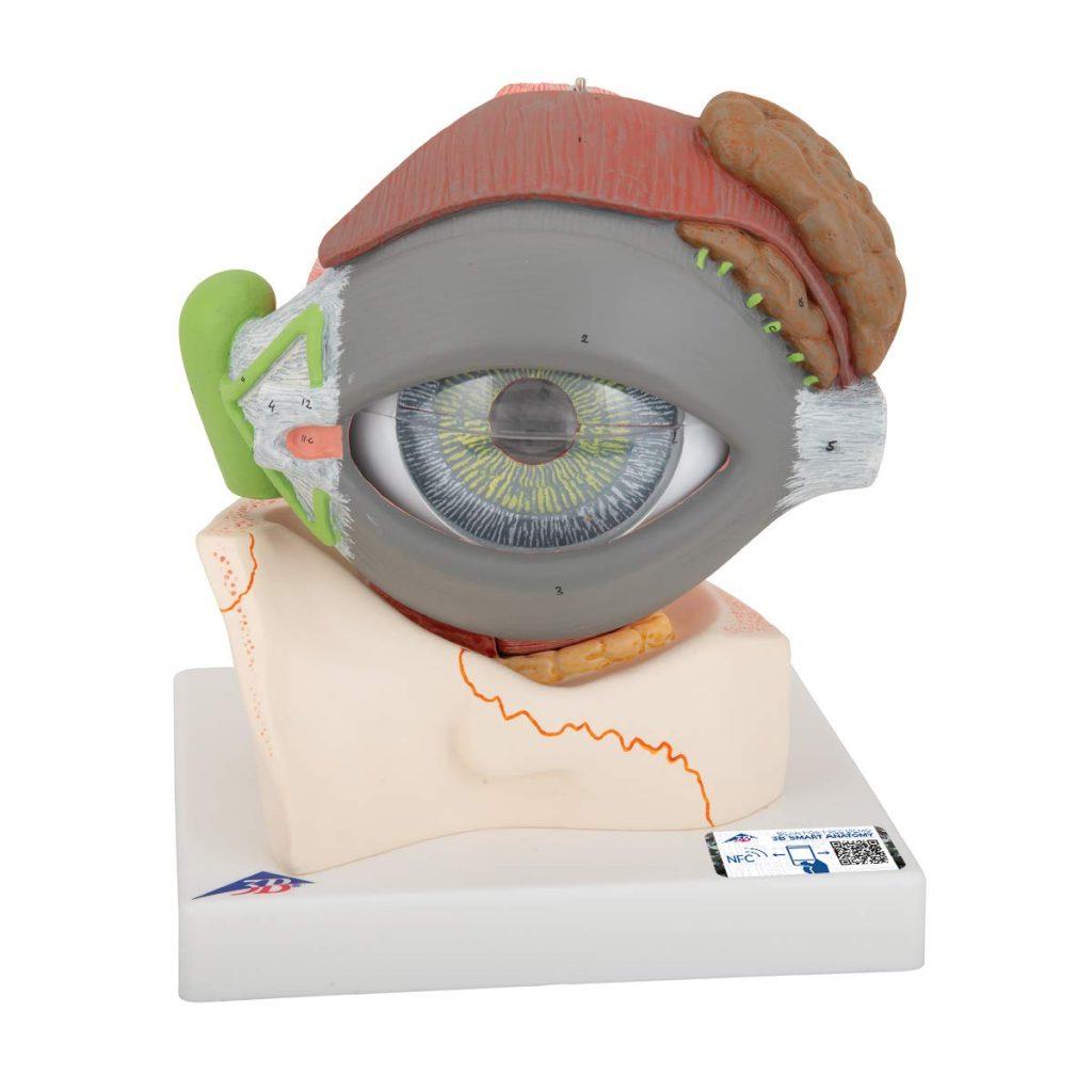 Anatomía de las partes del ojo humano 4