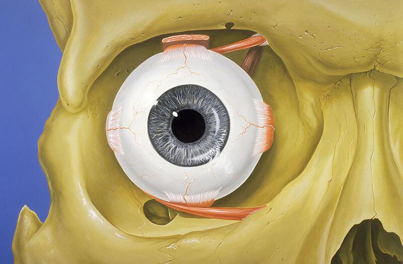 Las partes del ojo para niños de primaria 1