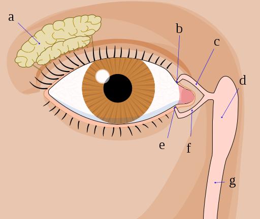 Anatomía de las partes del ojo humano 2