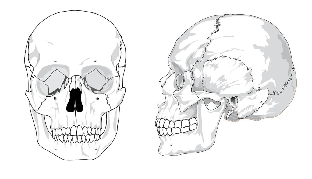 Vista de los huesos del cráneo, en la parte superior de la órbita, estaría situado el Recto superior