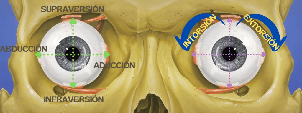 Músculos extraoculares y motilidad ocular 1